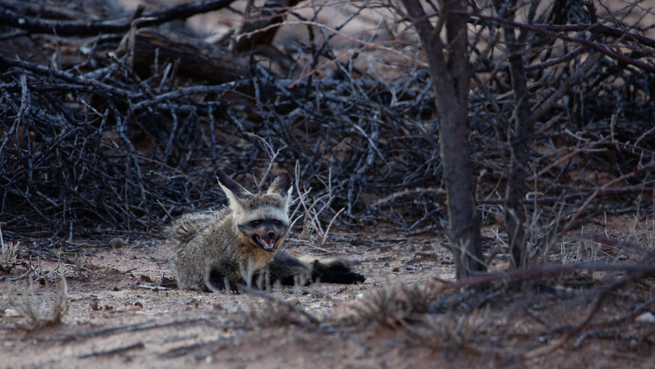 Bat-eared fox resting during the extreme midday heat in Namibia.