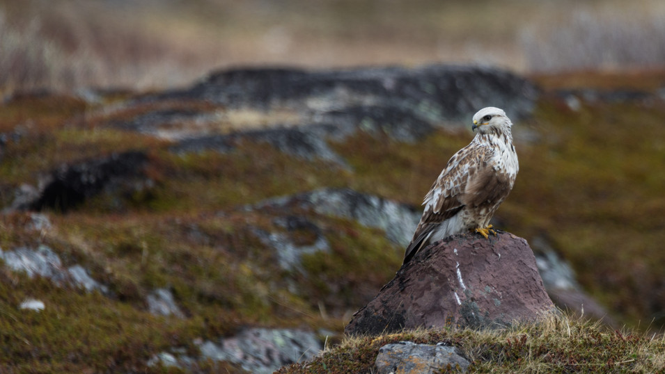 Buzzard looking for a meal. Varanger in June 2019.
