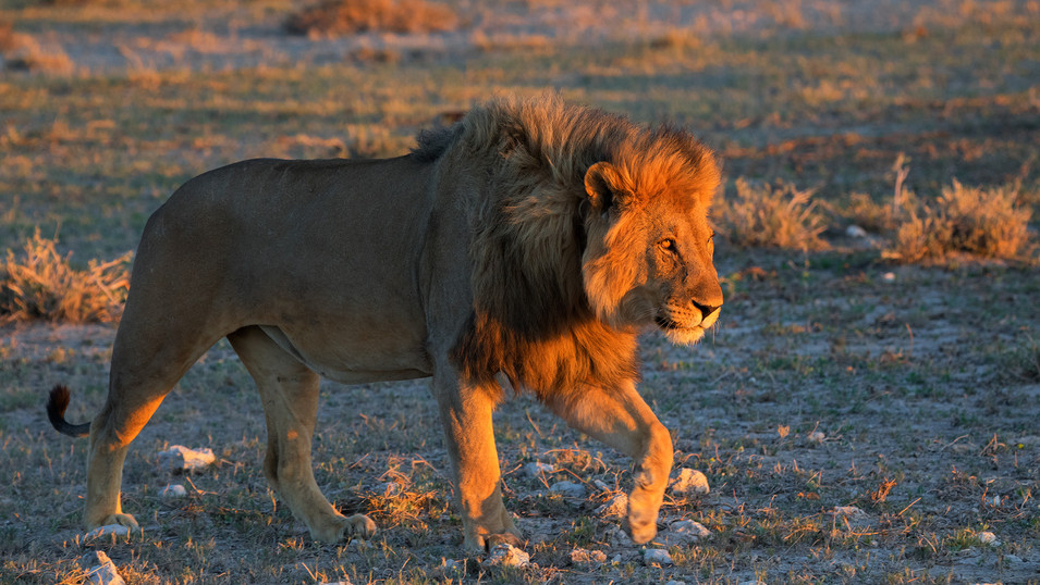 Roadside Lion in Etosha National Park, Namibia. Walking towards the setting sun.
