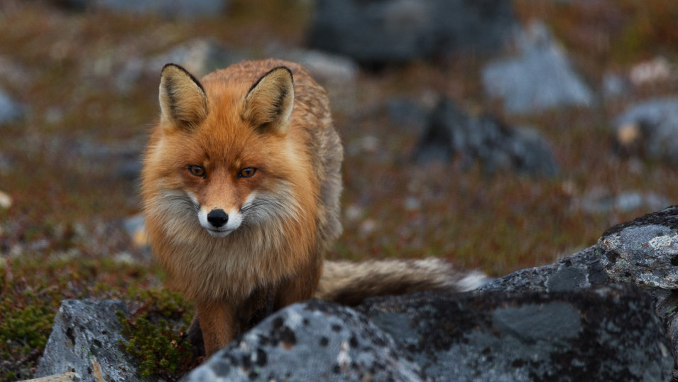 Red Fox in Varangerhalvøya National Park.