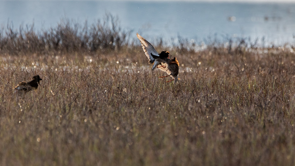 Ruff fighting for mating right on Finnmarksvidda.