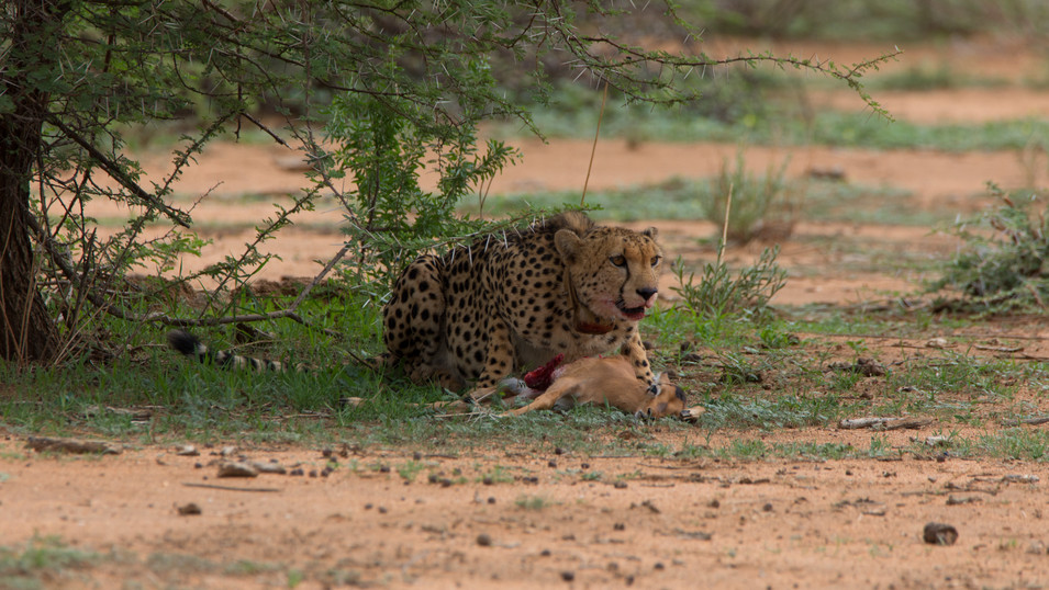 Cheetah with a fresh kill during the first few hours of the day. In Erindi Game Reserve, Namibia.