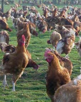poulet 657.jpg