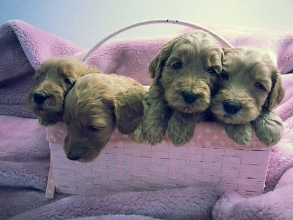 labradoodles in illinois puppies.