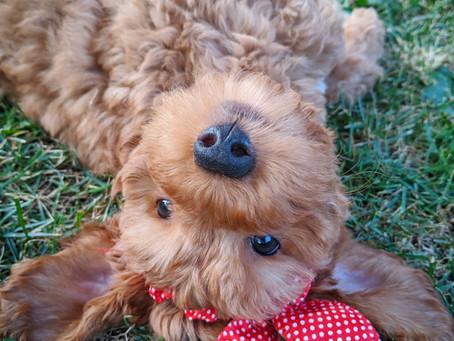 Why you should train your labradoodle to be a therapy dog!