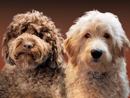 The Difference between a Labradoodle and a Goldendoodle