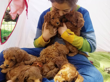 Why are labradoodles considered hypoallergenic?