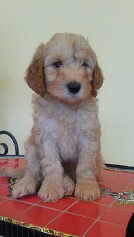 Labradoodle puppy glenview il