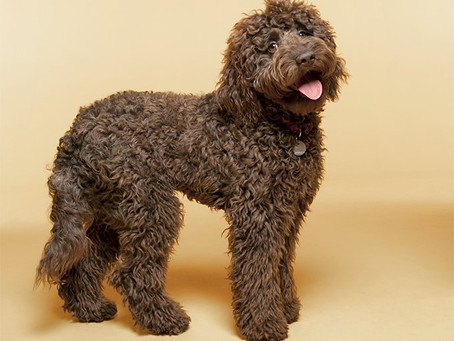 Why is my Labradoodle shedding?