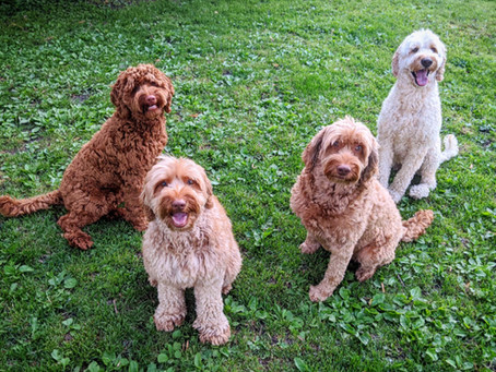 Teach your Labradoodle to sit.