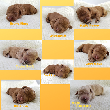 LABRADOODLES PUPPIES FOR SALE