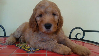 puppy labradoodle illinois
