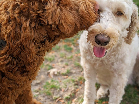 What it's like to have trained labradoodle