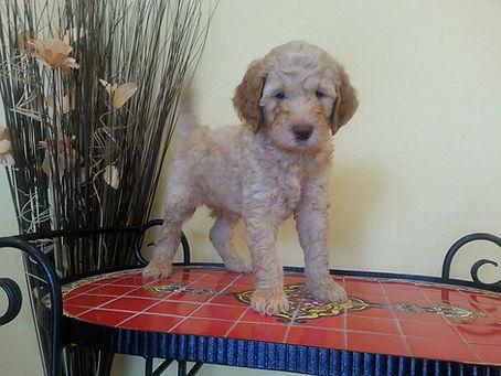 labradoodle puppy 6 weeks old