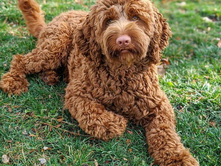 Why labradoodles are so popular?