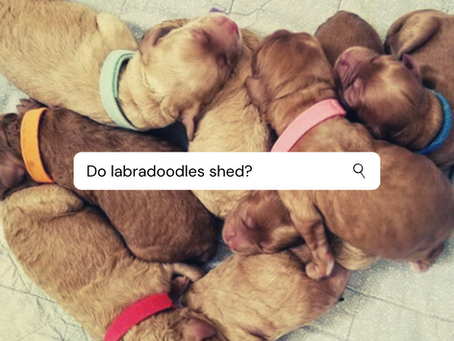 Do labradoodles shed?