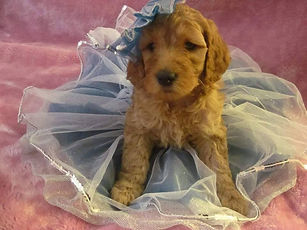 labradoodle puppies for sale in chicago