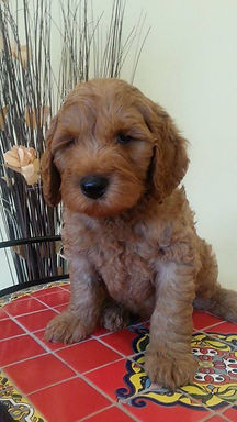 labradoodle puppy for sale