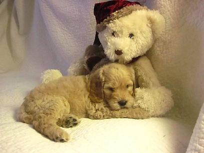labradoodle puppy illinois
