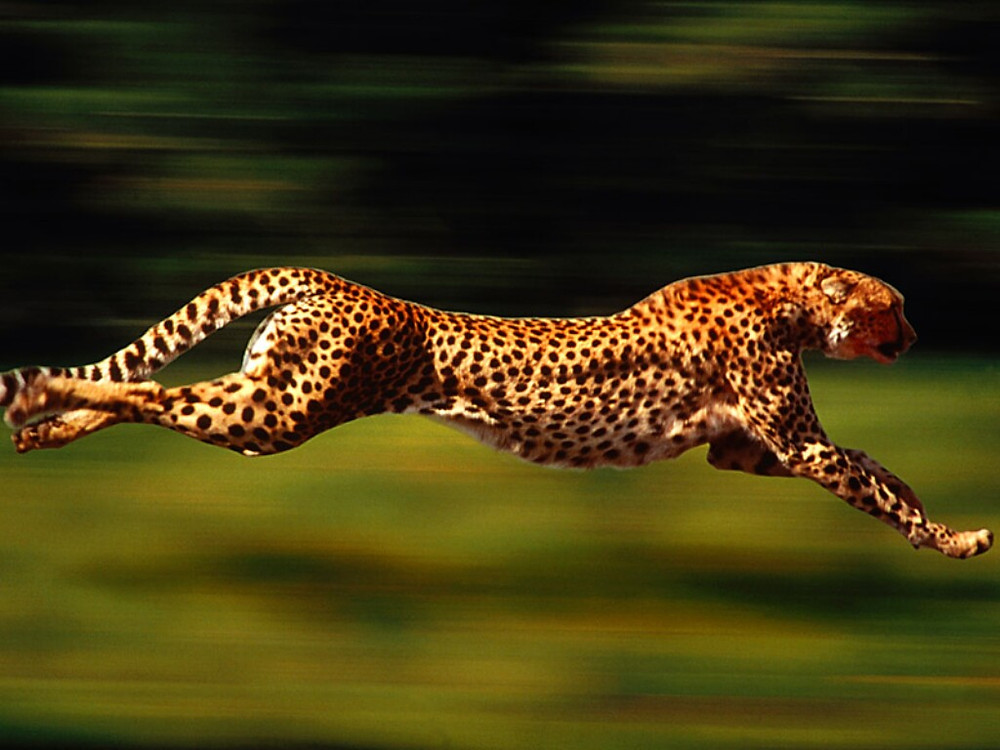The incredible drive of the Cheetah & horizontal flight