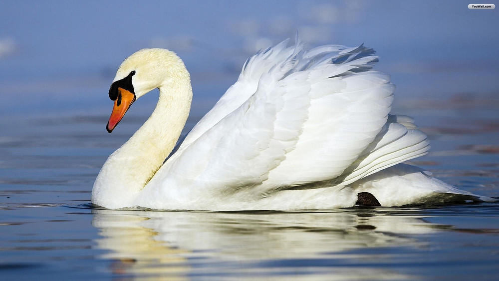 The serene but completely horizontal movement of the graceful Swan