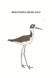 The American Monjita is a wader bird, with very long legs, an upright posture and a long, thin beak. It inhabits from the southern United States, the north of the Baja California peninsula, the Gulf of Mexico, Central America and the Caribbean, to the northwest of Brazil, the southwest of Peru, the east of Ecuador and the Galapagos Islands. Adapted to wade through water, it moves its beak from side to side, stirring mud in search of food. It feeds mainly on aquatic insects and other small invertebrates. As it needs shallow, fresh or salty waters, it is usually found on the margins of the water and in marshes. In flight, it reveals its long, pointed wings, black on both sides. Because its habitats quickly dry out and are often only temporarily suitable for nesting, it likes to travel nomadically, constantly searching for new places to inhabit. It adapts quickly to artificial habitats such as sewers where human waste navigates or in dikes that contain the conflict of living on dry land or in stranded navigations without a captain.