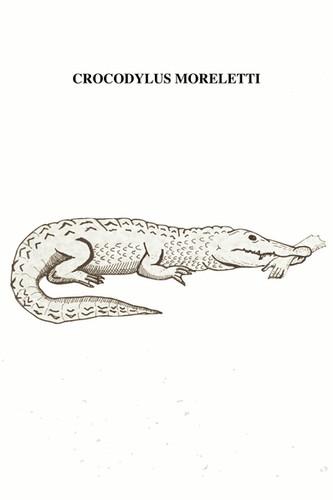 El Cocodrilo de Morelet o mexicano es de tamaño pequeño en comparación con algunos otros cocodrilos. Los machos pueden llegar a ser más grandes que las hembras, lo que se conoce como dimorfismo sexual. El promedio de los cocodrilos adultos es de alrededor de 3 metros de longitud, con un máximo de 4,3 metros. Es similar a los cocodrilos americanos y cubanos en apariencia. Se encuentra en la planicie costera del Golfo de México desde el norte de Tamaulipas, hasta la Península de Yucatán, extendiéndose a las tierras bajas costeras del Mar Caribe en Belice y en zonas internas de Guatemala como Verapaz y el Petén. Habita pantanos de agua dulce y grandes ríos y lagos. Prefiere zonas desoladas y aisladas. Se alimenta en gran medida de peces e insectos, pequeños mamíferos como perros y gatos, aves e incluso otros reptiles. A veces, caníbal, come a sus propias crías. Juancho, cuando está casi totalmente sumergido, mantiene la capacidad de oler, oír e identificar sus alrededores; también, es posible verlo rondar por las avenidas tampiqueñas buscando jaibas o de los que vagando, buscan noches transeúntes. El uso de los cocodrilos como alimento se remonta a épocas en que los pobladores autóctonos de las costas de México los capturaban en los ríos, esteros y pantanos, ya que eran abundantes y eran aprovechados con fines comerciales o medicinales. Existen datos sobre la explotación comercial de pieles de cocodrilo en México desde 1855. Ha sido amenazado principalmente por la destrucción de su hábitat y la caza ilegal. El incremento de ambas poblaciones humana y cocodriliana ha incrementado de forma exponencial las posibilidades de conflicto principalmente en zonas urbanas. Durante la época prehispánica se interpretó como la representación de un ser divino de alta jerarquía y su presencia e imágenes se encuentran en los tres niveles del cosmos: la tierra, el cielo y el inframundo.