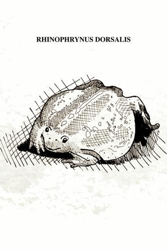 """El sapo excavador mexicano tiene un tamaño entre 5 y 9 cm. de longitud con una cabeza pequeña y triangular y ojos pequeños. Su cuerpo es oval con extremidades cortas y envueltas en sus bases por pliegues corporales; la piel parece suelta y flácida, relativamente lisa cubierta con pústulas muy separadas. Su boca está cubierta con tubérculos sensoriales. El sapo cavador está especializado en consumir hormigas, presentando una lengua adaptada a dicha dieta y careciendo de dientes. Se alimentan en la noche de gran variedad de insectos, sobre todo de hormigas y termitas. Se le encuentra en los bosques, pero durante los periodos de lluvias fuertes, habita con más frecuencia en los campos cultivados, los desagües a la orilla de los caminos y en otras áreas abiertas. Pueden cavar con las patas en forma alternativa o simultánea. Estos sapos han sido localizados de 7 a 15 cm. debajo de la superficie durante la estación lluviosa, pero es probable que lleguen a una mayor profundidad durante la estación seca, cuando se encuentran con frecuencia debajo de las bases de los postes de cerca. Dentro de la cámara, infla su cuerpo y se aprieta tan estrechamente, que no puede ser desalojado a menos de que una pared de la cámara sea completamente removida. Durante la noche de reproducción, los machos empiezan a llamar desde tierra conforme se aproximan a la charca. Por lo general, entran en forma inmediata en el agua y se sientan, medio sumergidos, cantando o inflando sus cuerpos. También pueden cantar mientras flotan como globos en las partes más profundas con las patas estiradas. En esta especie los cantos de grandes coros de individuos son ensordecedores y pueden oírse por varios kilómetros (por esta razón el nombre maya para esta especie es """"uo""""). Los pobladores de algunas comunidades tienen la creencia de que estos sapos caen del cielo con los rayos que anuncian la llegada de la lluvia."""
