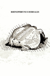 """The Mexican burrowing toad is between 5 and 9 cm in size. in length with a small, triangular head and small eyes. Its body is oval with short extremities and wrapped at their bases by body folds; skin appears loose and flabby, relatively smooth covered with widely spaced pustules. Its mouth is covered with sensory tubercles. The burrowing toad is specialized in consuming ants, presenting a tongue adapted to this diet and lacking teeth. They feed at night on a wide variety of insects, especially ants and termites. It is found in forests, but during periods of heavy rains, it lives more often in cultivated fields, roadside drains, and other open areas. They can dig with their legs alternately or simultaneously. These toads have been located from 7 to 15 cm. below the surface during the rainy season, but are likely to go deeper during the dry season, when they are frequently found below the bases of fence posts. Inside the chamber, it inflates its body and is squeezed so tightly that it cannot be dislodged unless one wall of the chamber is completely removed. During breeding night, males begin calling from land as they approach the pond. They usually enter the water immediately and sit, half submerged, singing or puffing up their bodies. They can also sing while floating like balloons in the deepest parts with their legs stretched out. In this species the songs of large choruses of individuals are deafening and can be heard for several kilometers (for this reason the Mayan name for this species is """"uo""""). The inhabitants of some communities have the belief that these toads fall from the sky with the rays that announce the arrival of the rain."""
