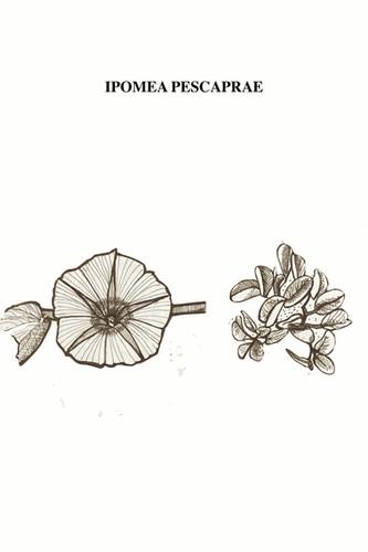 El Bejuco de Mar es una herbácea robusta, suculenta, de tallo postrado, rastrero, extendiéndose por más de 15 m y con hojas simples, alternas, reniformes (forma de riñón), coriáceas. Es una especie botánica de enredadera común tropical de la familia de las Convolvulaceae. Tiene flores purpúreas o rosáceas, campanulares y por dentro del cuello son de un color muy intenso y su vida es de un día, al igual que el de la mosca que pasea sin pudor frente a las miradas humanas. Se encuentra en playas arenosas de los sectores tropicales de los océanos Atlántico, Pacífico e Índico. Es una de las más comunes y más extendidas plantas tolerantes a la sal y provee uno de los mejores ejemplos conocidos de dispersión oceánica ya que sus semillas flotan y no son afectadas por el agua salina. Es un buen estabilizador primario de arenas, con tendencia a colonizar dunas. A pesar de su resiliencia frente a la naturaleza, sus semillas han sido capturadas dentro de formas humanas metálicas y plásticas que flotando, interrumpen su libertad de navegar para llegar a tierra firme. Las semillas de sus frutos están llenas de sustancias químicas venenosas para el humano. Por su uso terapéutico contra los cálculos renales, en México se le conoce como Riñonina o Rompepiedra; además, se le otorga propiedades curativas frente al cambio brusco de emociones o de temperaturas, evitando por momentos efímeros, el catarro existencial.