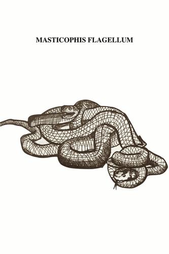 """Las chicoteras son serpientes no venenosas de cuerpo delgado con cabeza pequeña y grandes ojos con pupilas redondas. Varían mucho en color, pero la mayoría reflejan un camuflaje adecuado a su hábitat natural. Suelen ser marrón claro con moteado marrón más oscuro, pero en la zona oeste de Texas, donde el color del suelo es más claro, también son de color rosa; existen algunas que tienen algo de rojo en su coloración. A primera vista la serpiente parece trenzada. Se encuentran comúnmente en campos abiertos con suelos arenosos, bosques de pinos, praderas y parcelas. Crecen en las dunas junto al Bejuco de Mar y en matorrales. Son diurnas, cazan activamente y comen lagartijas, pequeñas aves y roedores. Tienden a ser más sensibles a las amenazas potenciales que otras especies, y a menudo huir a la primera señal de alguna otra de su especie. Extremadamente rápidas, muy rápidas. Son curiosas y con buena vista, a veces se ven levantando la cabeza por encima del nivel de la hierba o las rocas para ver lo que hay a su alrededor. Se dice que por su gran rapidez de huida y su paranoia latente, les gusta perseguir a la gente y asustarla; a ellas les gusta pensar que juegan a las """"carreritas"""", intentando ser las primeras en llegar a la meta de seguridad lejos de cualquier amenaza."""