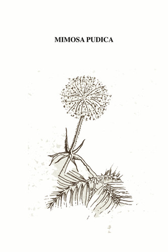 La Mimosa Púdica es una planta originaria de la Selva tropical de América y África tropical de la familia de las fabáceas. Tiene hojas compuestas, bipinnadas, formadas por dos pares de pinnas que contienen de 15-25 pares de folíolos lineales obtusos. Tiene flores muy pequeñas, de color rosado malva, en cabezuelas pediceladas de hasta 2 cm de diámetro y grandes raíces. Suele alcanzar más de un metro de altura. Su vida es corta, aproximadamente de 5 años, al igual que los niños desaparecidos en México. Se le conoce también como mimosa sensitiva, vergonzosa, nometoques, moriviví, dormidera, o adormidera. Entre los nombres comunes en idiomas indígenas de México están Pinahuihuixtle (náhuatl), xmutx (maya), choben (huasteco), cochiz-xíhuitl, cuecupatli, quececupatli y xmumuts. Una característica muy notable es que como mecanismo de defensa, al mínimo toque de sus hojas éstas se contraen sobre el tallo como si se cerraran; al mismo tiempo, los tallos menores se dejan vencer por el peso. Frente a sus depredadores herbívoros o en su caso vegetarianos, sus hojas ya sin fuerza, la hacen lucir como una planta sin vitalidad para robar. La mimosa, va siendo un espejismo del tacto hambriento, defraudando al que con hambre, sigue buscando.