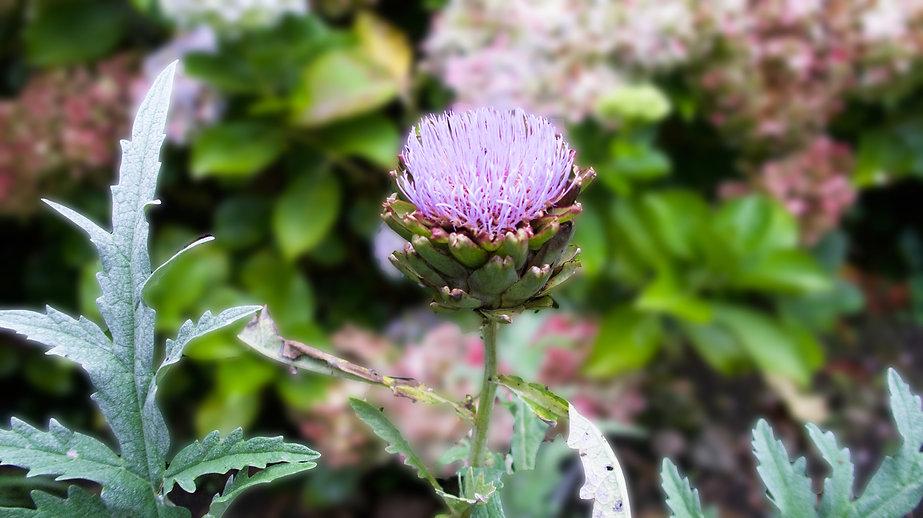 Flor de alcachofa.jpg