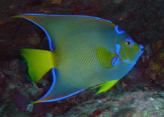 queen angelfish.jpg