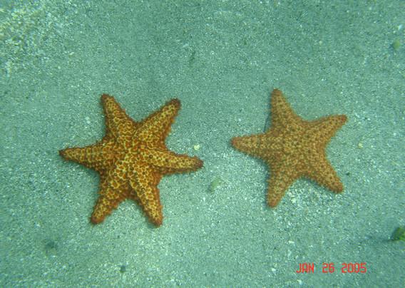 cushion starfish.JPG