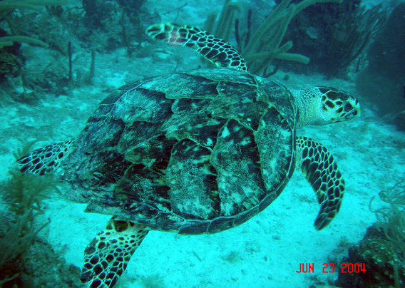 hawksbill turtle1.jpg