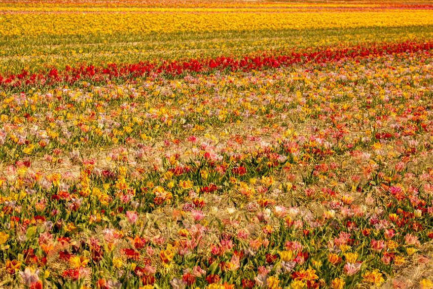 tulpenveld-jpg