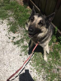German Shepherd dog walk