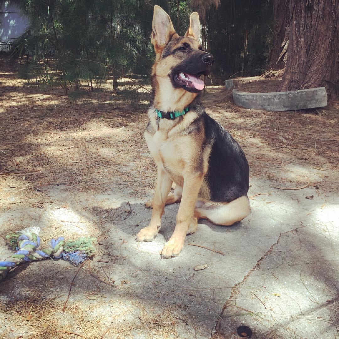 german shepherd puppy obedience