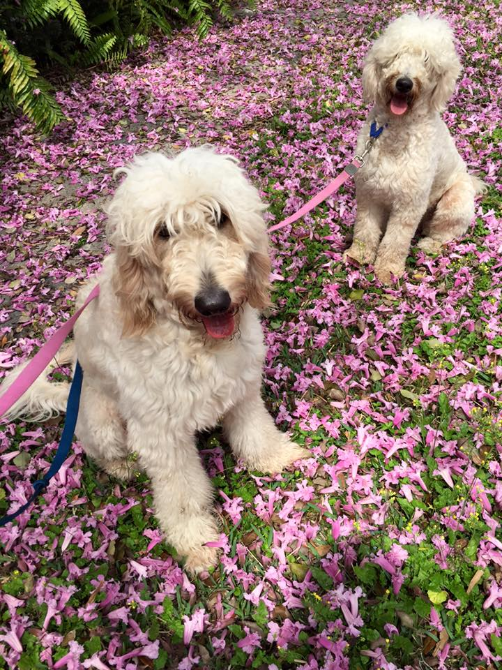 Labradoodles and purple flowers