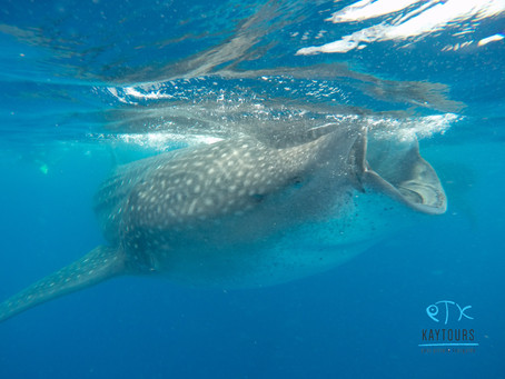 Whale Sharks Listed as Endangered Species by IUCUN