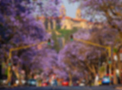Jacaranda_Trees_Pretoria.jpg