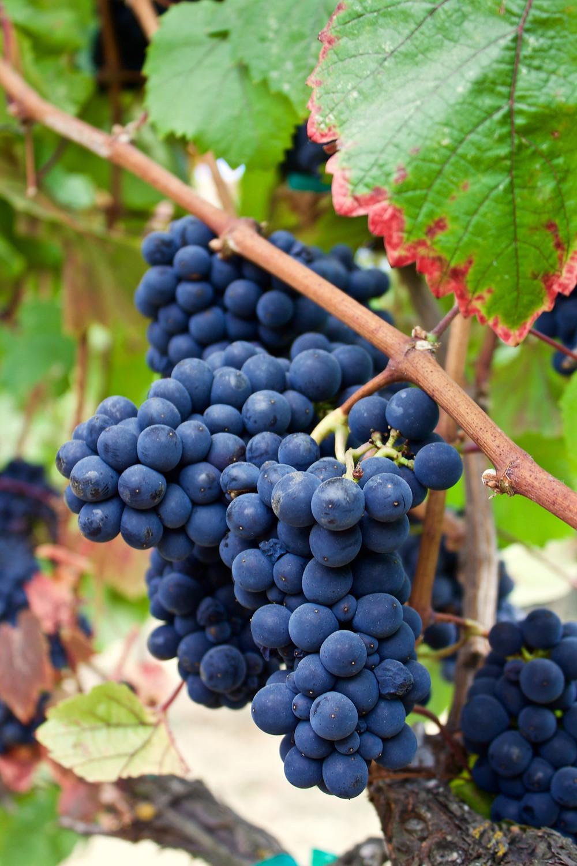 Elkhorn Peak Estate Grown Pinot Noir on vine, Sept 2017.