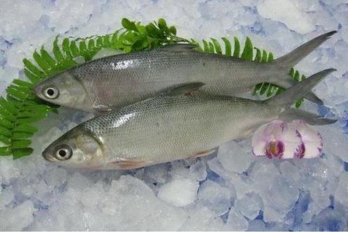 3023 Milkfish W/R 800 Up