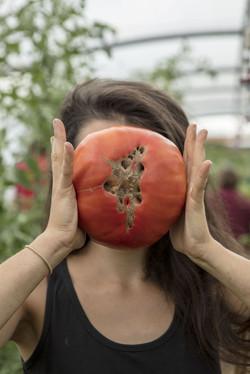 récolte tomates été 2017