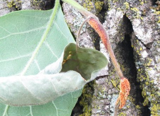 Unusual disease outbreak in ash trees