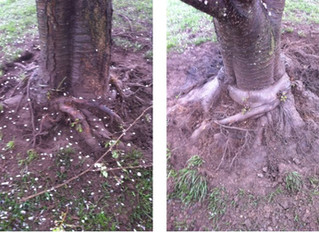 Girdling root job