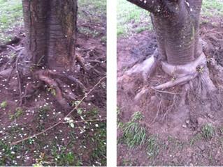 Girdling root job