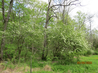 Blackhaw Viburnums in Bloom