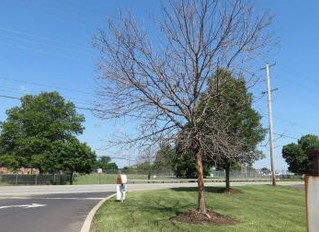 Emerald Ash Borer Update June 15, 2015
